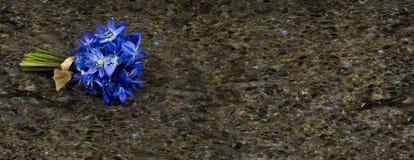 Fleurs sauvages bleues Scilla de ressort sur le ressac de granit d'antiquité de Labrador Image libre de droits
