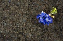 Fleurs sauvages bleues Scilla de ressort sur le ressac de granit d'antiquité de Labrador Photographie stock libre de droits