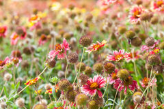 Fleurs sauvages colorées sur le pré d'été Helenium Photos stock
