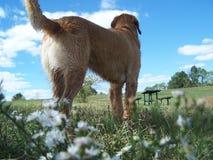 Fleurs sauvages d'amoungst de vue arrière de chien d'arrêt d'or Photographie stock libre de droits