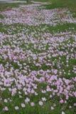 Fleurs sauvages dans le Texas du sud Photos libres de droits