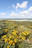 Fleurs sauvages dans les dunes hollandaises photographie stock libre de droits