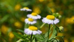 Fleurs sauvages de camomille de pré au-dessus de vert clips vidéos