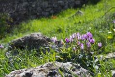 Fleurs sauvages de cyclamen Photo libre de droits