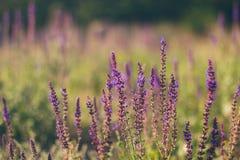 Fleurs sauvages de gisement de lavande Photographie stock
