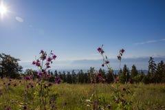 Fleurs sauvages de montagne avec Mont Blanc et le lac Leman dans un brumeux photos stock
