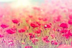 Fleurs sauvages de pavot Images libres de droits