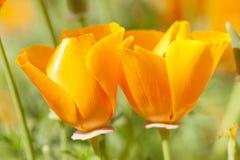 Fleurs sauvages de pavot de californica d'Eschscholzia, jaune et orange photo stock