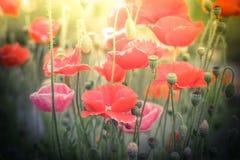 Fleurs sauvages de pavot sur le pré d'été Effet de peinture d'aquarelle Image libre de droits