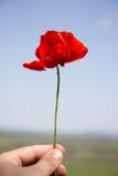 Fleurs sauvages de pavots Photo libre de droits