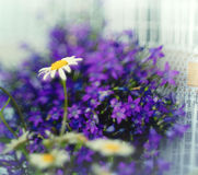 Fleurs sauvages de petit ressort pourpre Photo libre de droits