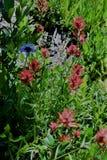 Fleurs sauvages de pré de haute montagne Photos libres de droits