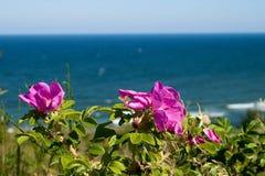 Fleurs sauvages de Rose Images libres de droits