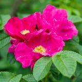 Fleurs sauvages de Rose Images stock