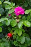 Fleurs sauvages de Rose Image stock