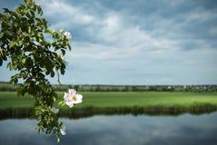 Fleurs sauvages de rosier sur la rivière photo stock
