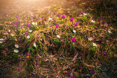 Fleurs sauvages de source Images libres de droits