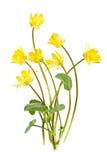 Fleurs sauvages de source jaune Image libre de droits