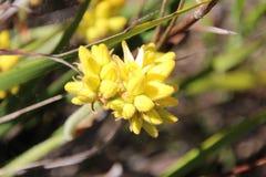 Fleurs sauvages de tête de coton de Conostylus Images stock
