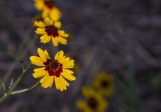 Fleurs sauvages de Tickseed avec le foyer sélectif Photos stock