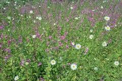 Fleurs sauvages diverses dans le domaine en plan rapproché photographie stock