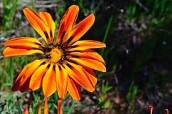 Fleurs sauvages en fleur Images libres de droits
