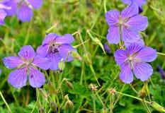 Fleurs sauvages en vallée de Zanskar, Ladakh, Inde Photographie stock libre de droits