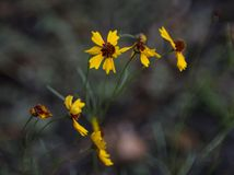 Fleurs sauvages et bourgeons de Tickseed Photos libres de droits