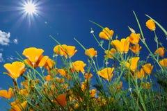 Fleurs sauvages et soleil en ciel bleu Image stock
