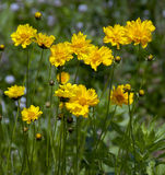 Fleurs sauvages jaunes Image stock