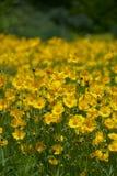 Fleurs sauvages jaunes Images libres de droits