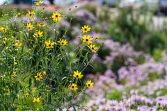 Fleurs sauvages jaunes dans le domaine en Illinois photographie stock