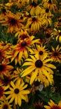 Fleurs sauvages jaunes de champ images libres de droits