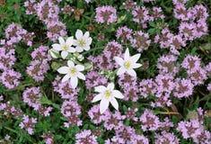 Fleurs sauvages : lis de thym et d'herbe image libre de droits