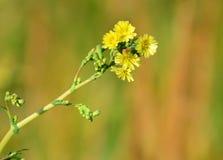 Fleurs sauvages magnifiques Fleurs jaunes images stock