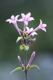 Fleurs sauvages pourprées Photo libre de droits