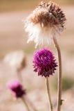 Fleurs sauvages pourprées Photos stock