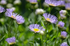 Fleurs sauvages pourpres au Vermont en été Photos stock