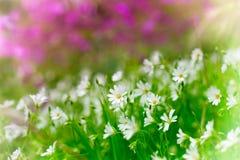 Fleurs sauvages pourpres et blanches Photo stock