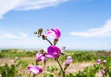 Fleurs sauvages pourpres sur la plage photographie stock libre de droits