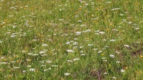 Fleurs sauvages se déplaçant le vent banque de vidéos