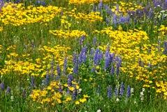 Fleurs sauvages sur la prairie d'Alberta Photo libre de droits