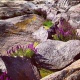 Fleurs scandinaves dans les roches Photo libre de droits