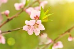 Fleurs sensibles d'abricot Images libres de droits