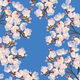 Fleurs sensibles de cerise fleurissant dans le spri Image stock