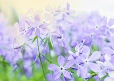 Fleurs sensibles de pourpre de lilla photographie stock