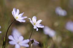 Fleurs sensibles de source Photographie stock libre de droits