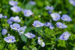 Fleurs sensibles de Veronica Small fleurissant dehors Image libre de droits