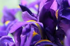 Fleurs sensibles pourpres d'iris sur le fond vert naturel images libres de droits