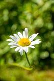 Fleurs simples d'un buisson de marguerites des prés Image libre de droits